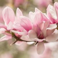 Spring Blush Art Prints & Posters by Julie Andel