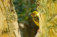 Weaver in Paper bark tree