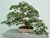 Taiwan trident Maple Bonsai