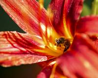 Collecting pollen on a red lily