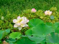Lotus Flower All Stages Nelumbo nucifera