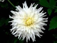 Dahlia White and Yellow