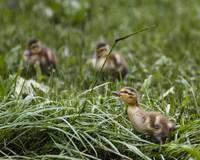 Duckling and Grass