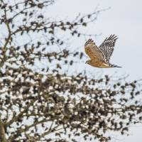 Red-shouldered Hawk Art Prints & Posters by Laura Frazier
