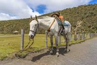 White Horse Tied Up at Cotopaxi National Park Ecua