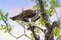 Osprey With Snack