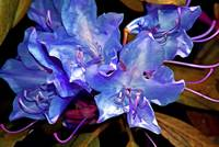 Rhododendron Glory in Blue Violet