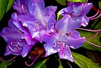 Rhododendron Glory in Magenta