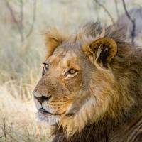 African Lion Art Prints & Posters by Mark and Judy Coran