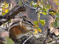 Mountain Pine Squirrel: Animals Feeding, Wildlife