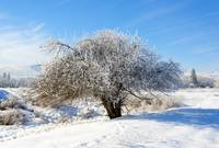 Frosted Apple Tree