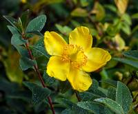 Yellow St. John's wort flowers plants