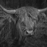 Scottish Highland Cattle Monochrome Art Prints & Posters by Phil Cardamone