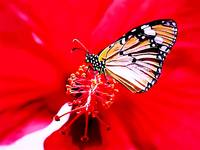 Red Flower @ Butterfly