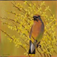 Cedar Waxwing and forsythia