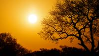 Golden Sunset With Big Tree Silhouette
