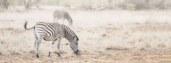 Zebras in Dreamy Scene - Horizontal Banner