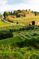 Tuscany Vineyard in Harvest Season