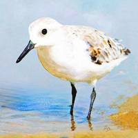Little Sanderling