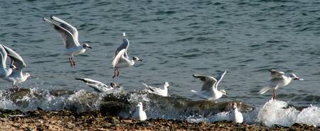 Seagulls Mexican Wave