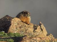 Yellow-bellied Marmot in Rocky Mountain National P