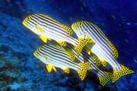 A Sweetlips Quartet