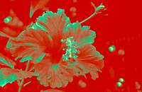 Seagreen Hibiscus on Red