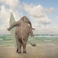 Surfer-Elephant-Seeking-Big-Waves Art Prints & Posters by john lund