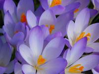 Morning Crocuses