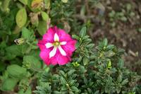 A Beautiful Unknown Pink & White Flower, Kashm