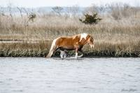 Wild Assateague Horse