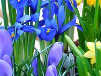 Irises, Crocuses, and Daffodils