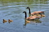 Goslings Go for a Swim