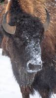 Snow Faced Buffalo