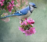 bluejay on spring blossoms
