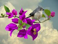 Tufted Titmouse and Purple Bougainvillea