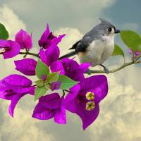 Tufted Titmouse and Purple Bougainvillea by I.M. Spadecaller