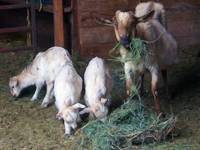 Three Kids Nanny Munching Hay