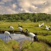 Japanese Cranes of the Hokkaido Wetlands by I.M. Spadecaller