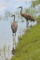 Couple of Sandhills by Pond