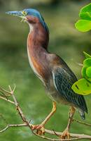 Green Heron Pose