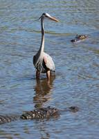 Brave Great Blue Heron