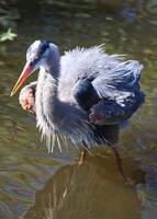 Ruffled Feathers on Great Blue Heron