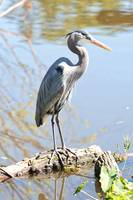 Stunning Great Blue Heron