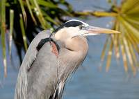 Proud Great Blue Heron