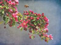crabapple bloom with bee