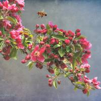 crabapple bloom with bee by r christopher vest