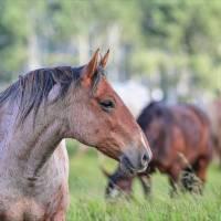 Wild Horses Art Prints & Posters by Glenda Borchelt