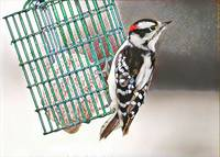 Mosaic Downy Woodpecker at Suet Feeder