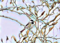 Mosaic Chickadee perched in the magnolia buds
